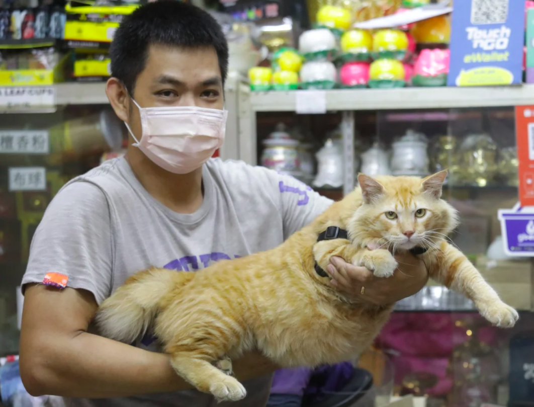 This Cat Nicknamed 'Abang Sado' is So Chonky Even Dogs Are Afraid ...