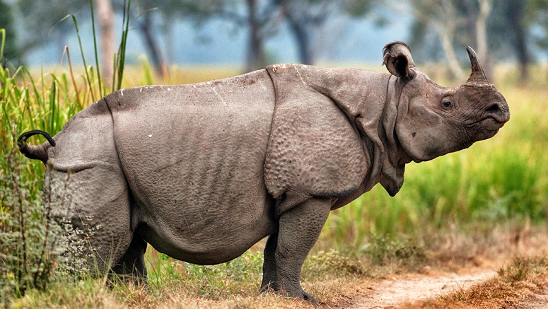 javan rhino Last known javan rhino in vietnam has died, leaving only a small population in indonesia to ensure the species' survival.